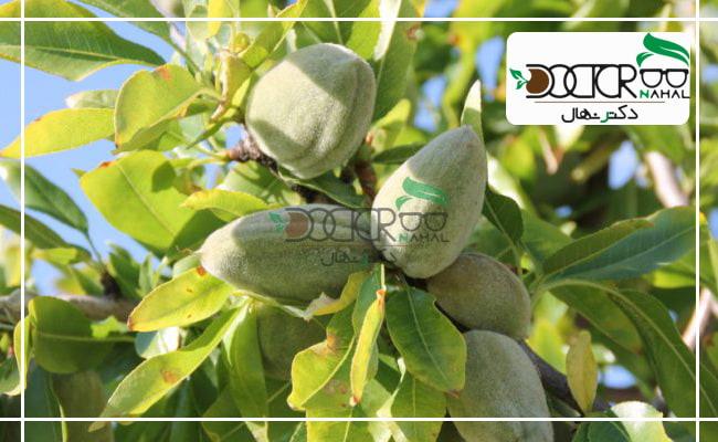 درخت بادام اجیلی