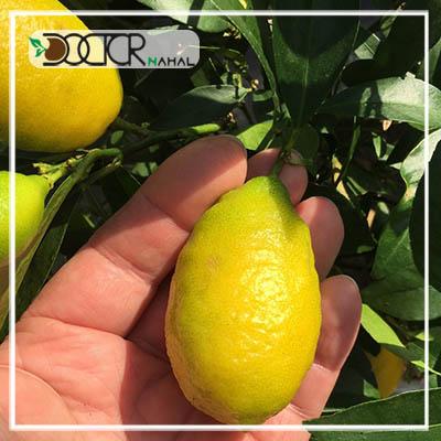 نهال لیمو ترش لایم کوات