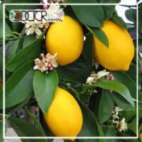 نهال لیمو سنگی