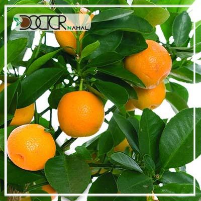 نهال پرتقال والنسیا
