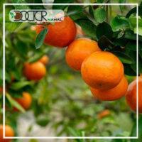 نهال پرتقال یافا