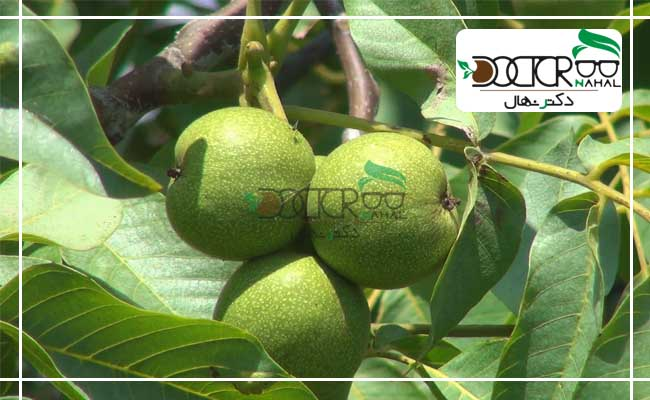 عکس درخت گردو فرنور، که در یکی از بهترین باغات کشور، به ثبت رسیده است.