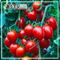 نهال گوجه بری