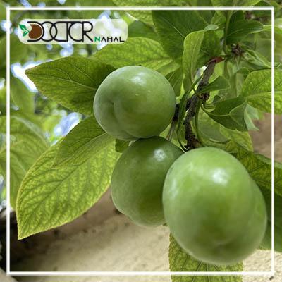 نهال گوجه سبز برغان