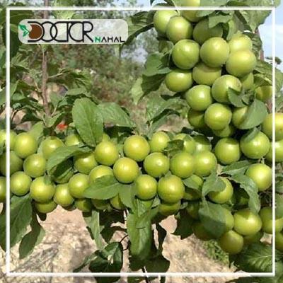 نهال گوجه سبز سردرودی