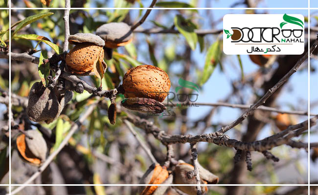 بادام دیم، به درختی گفته می شود که بتوان برای مدت طولانی آن را آبیاری نکرد.