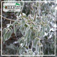 سرمازدگی باغات