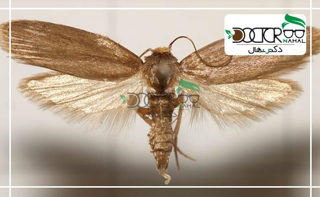 آفت پروانه زنبور