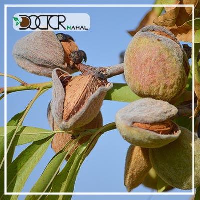درخت بادام فراکنس