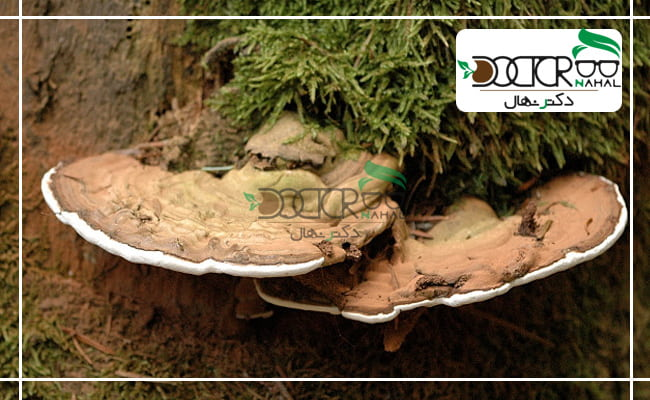 قارچ های گانودرما روش کاشت و پرورش آن