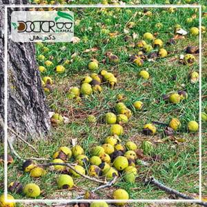 میزان محصول هر درخت گردو