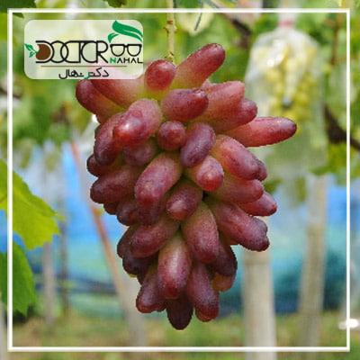 نهال انگور مکیاج