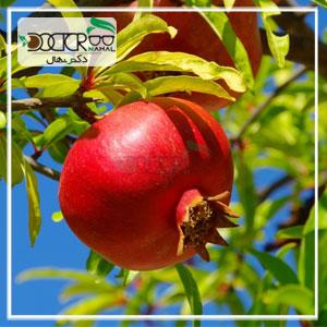 بهترین درخت انار